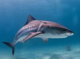 L'orque et le requin!