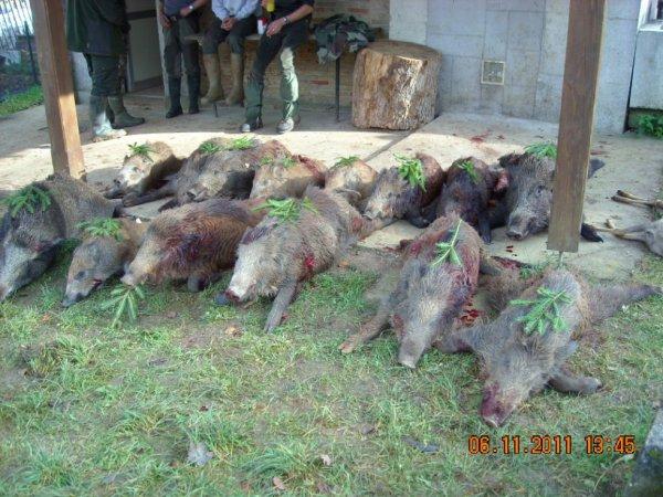 14 sangliers de tués et 2 retrouvés au chien de sang.