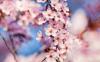 Fleur de cerisier (Sakura)