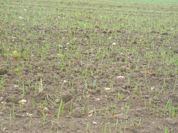 15 jours après les semis