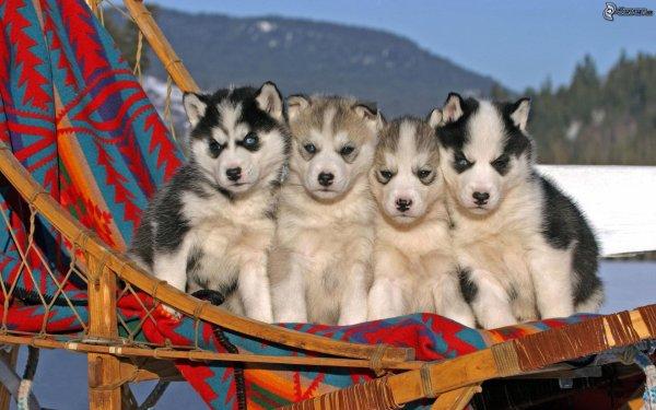 j'adore cette race de chien : le Husky Sibérien
