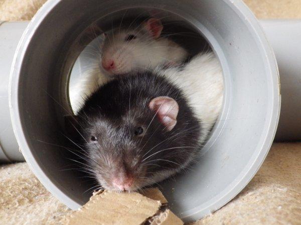 mes ratous d'amour