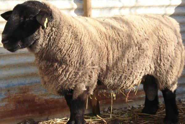 SUFFOLK MALATO  (VENDIDO)