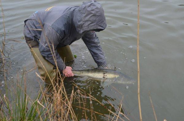 La pêche du sandre en no-kill !!!