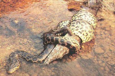 Anaconda et Caïman
