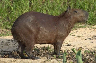 Le Capybara