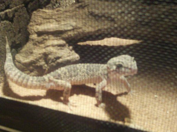 mon gecko roméo