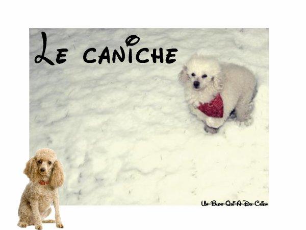 Tag # 4 Race De Chien / Caniche .