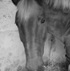 PonyGold