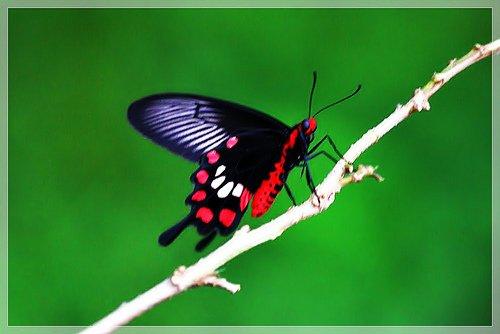 Blog de fiches-lepidopteres
