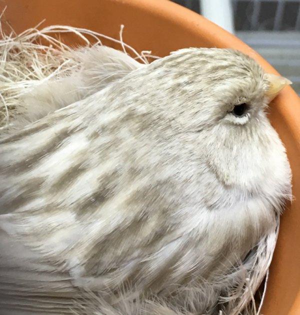 Opaal en mogno (split) kweekvogels...