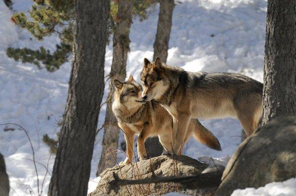 Le pastoralisme et le loup