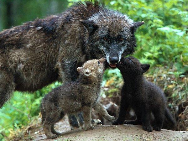 Eradication du loup en Savoie