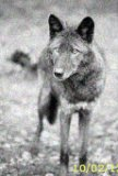 Photo de Wolf-Pack