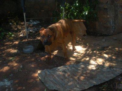 sauvetage une chienne aveugle  de race putbule