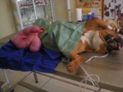 sterilisation de la chienne aveugle