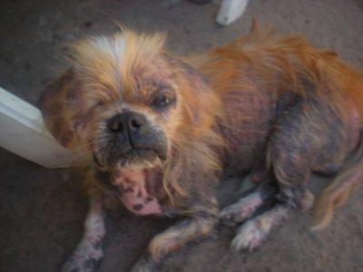 sauvetage un chien race de pikinoix abandonné dans la rue
