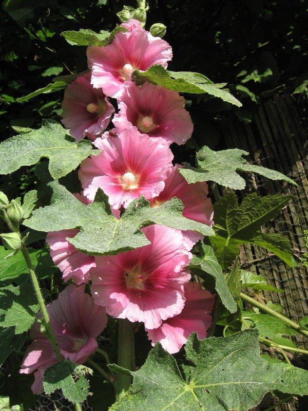 """Les graines de """"Ignee"""" sont devenues de magnifiques roses trémières ..."""