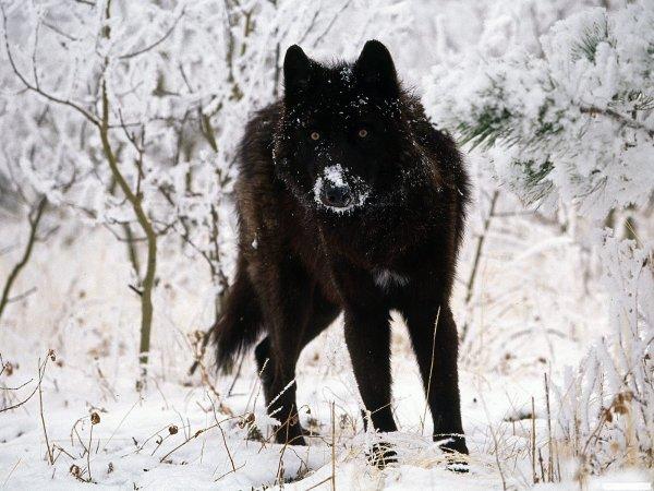 Quelque Photo de loup animal que j'affectionne particulièrement (Suite...)