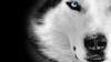 Quelque Photo de loup animal que j'affectionne particulièrement