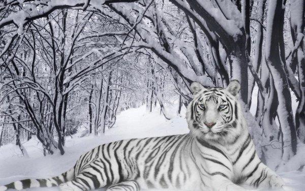 Images de tigres