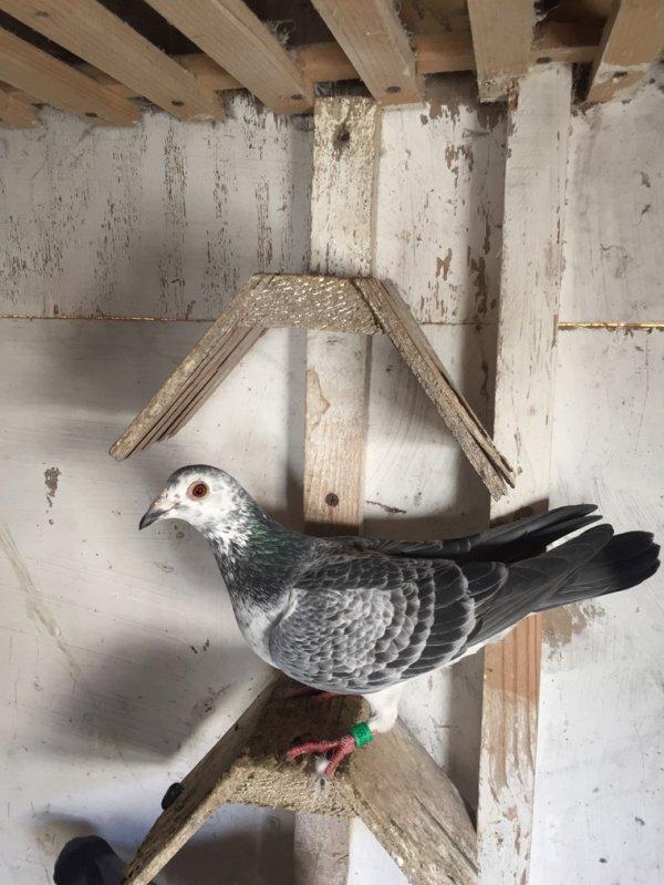 Voici quelques pigeons