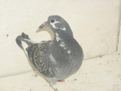 les pigeons de mon tonton moustacheserge