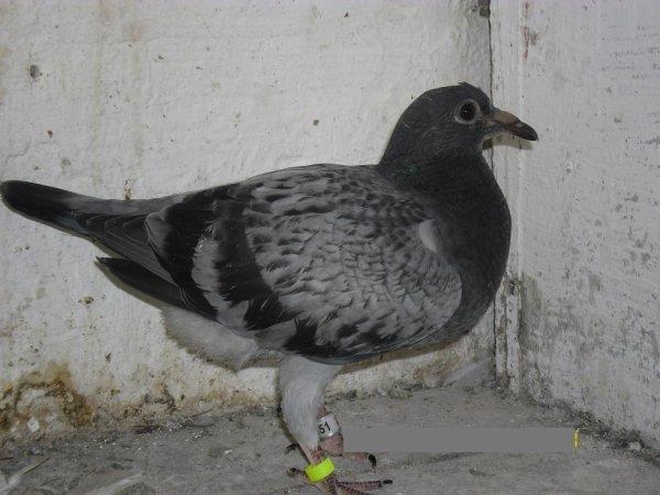 encore 6 beaux pigeons de mon tonton