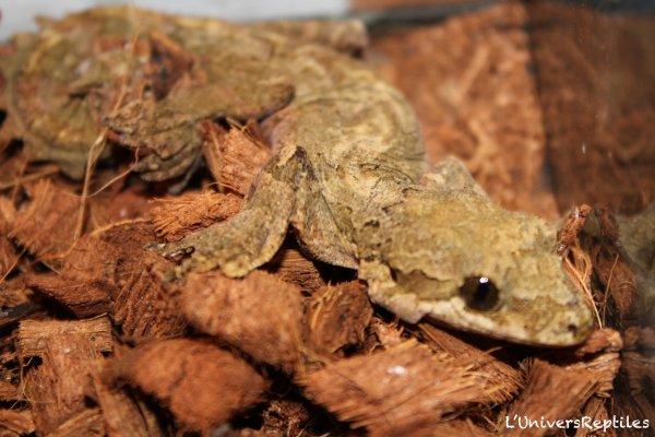 Gecko Volant