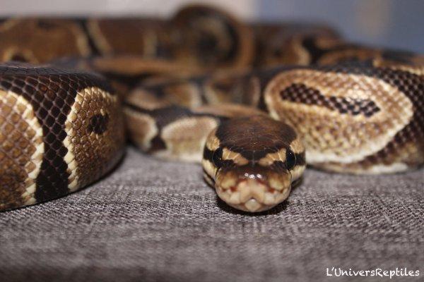 Python régies