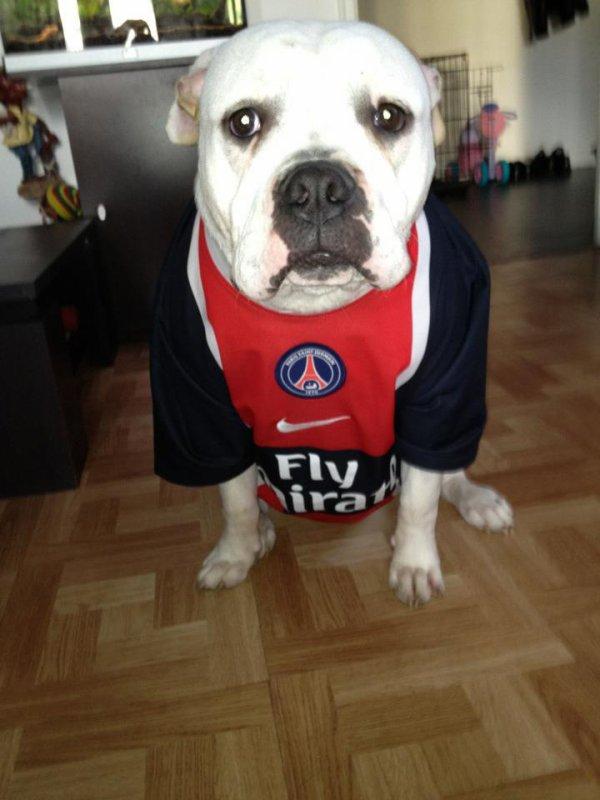 Premier bulldog américain supporter du P.S.G !!!