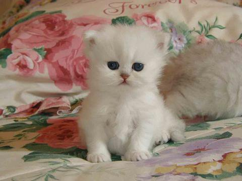 chaton mingion blanc