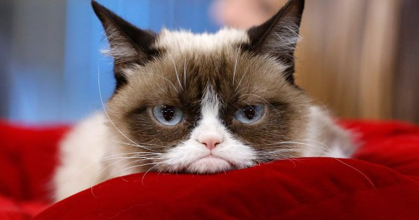 La vie d'un chat: Grumpy Cat ! <3