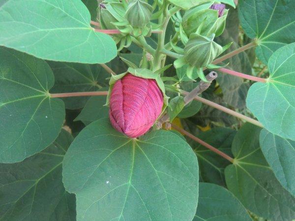 Le meraviglie della natura, Ibiscus XXL con fiori del diametro 22cm, del mio giardino