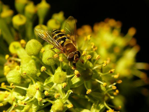 Mouche ou abeille?