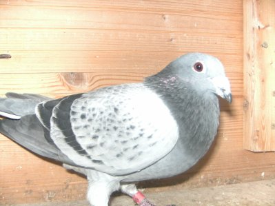 case 1 veuf  de l'année 2010  Origine ( Janssens d'Arendonck  par le père  et la mère ) pigeon offert par notre ami Georges Garbes de Calais