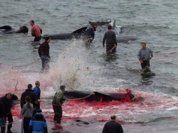 massacre en ce jours de cent globicephales aux iles feroe  ... mon coeur saigne a jamais