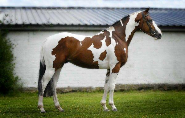 Et petit schooting photo pour  monsieur Picasso c est un cheval pie de 8ans il est super en dressage et en saut ben il a un bon coup de saut pour moi c est le meilleur  je l aime plus que tout#Kate