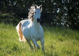 Mon cheval c'est toute ma vie je vous présente Naufrage. Il a eu 8 ans il est très fort en dressage. Il est blanc et très doux avec tout le monde : Il a un grand coeur d'or et c'est ma moitié!❤ #Maude