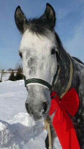 Voilà Killy notre petit cadeau de Noël  disons grand cadeau. A peine que l on venait à notre cours que voilà un nouveau cheval à monter et à chouchouter !! Et maintenant il fait partit des plus gentil et c est un cheval fabuleux j ai passé mon etrier avec et j ai réussi merci a toi mon pépère !!! On t aime fort mon p'tit bijoux tu as été un super cadeau ❤❤Et maintenant tu remplie mon quotidien de bonheur tu es mon miens je t aime ❤❤❤❤❤❤#Kate
