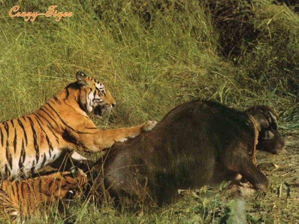 Blog de crazy tiger le plus beau f lin du monde - Tigre polaire ...