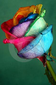 Rose Multicolore O0 Rose 0o