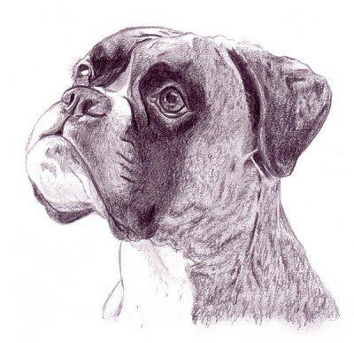 Un chien sait quand il a fait une betise le boxer - Dessin chien boxer ...