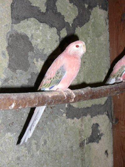 Opaline pale fallow : Jeune femelle et son père : Bonne taille mais couleur encore à travailler