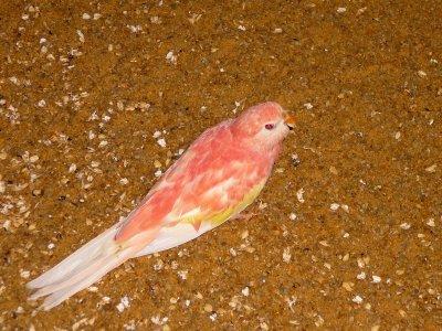 Jeune femelle Rubino 2011