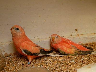 Jeunes Bourkes Opaline et Opaline pale fallow sortis du nid et leurs parents