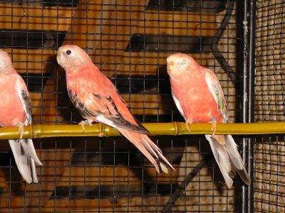 Femelle Rubino & son frère Opaline pale fallow dans la volière des jeunes Bourkes B11