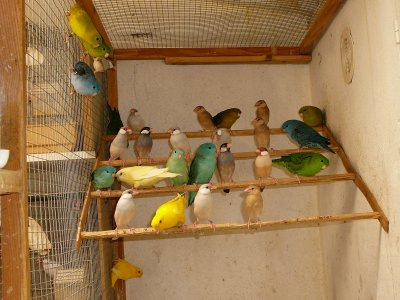 Volière intérieure : Femelles Catherines et jeunes paddas en cours de coloration... à la mi août 2011