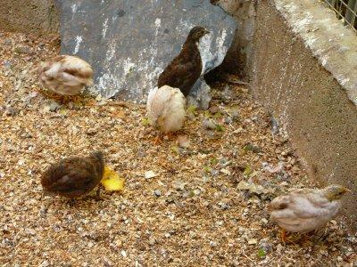 Evolution des 5 jeunes cailles de Chine, V1 : Quelles couleurs ?