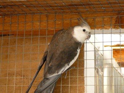 Nouveaux pensionnaires : Calopsittes Grises face blanche, femelle Opaline grise face blanche